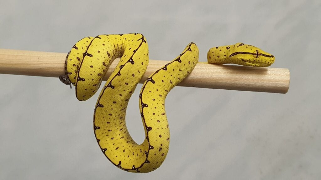 Grønn trepyton, gul juvenil