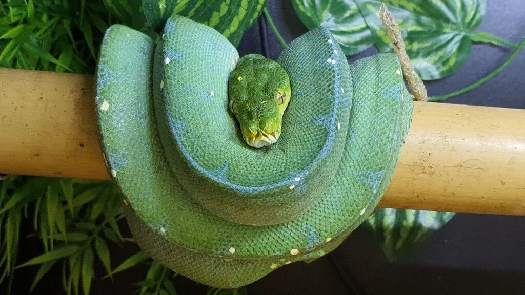Grønn Trepyton, Lereh, Female