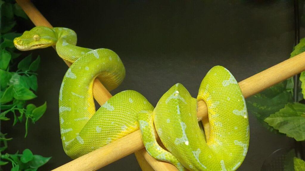 Grønn Trepyton, Manokwari, Male
