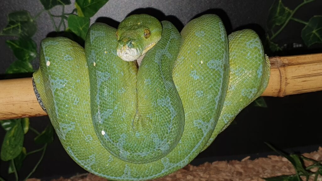 Grønn Trepyton, Manokwari, Female