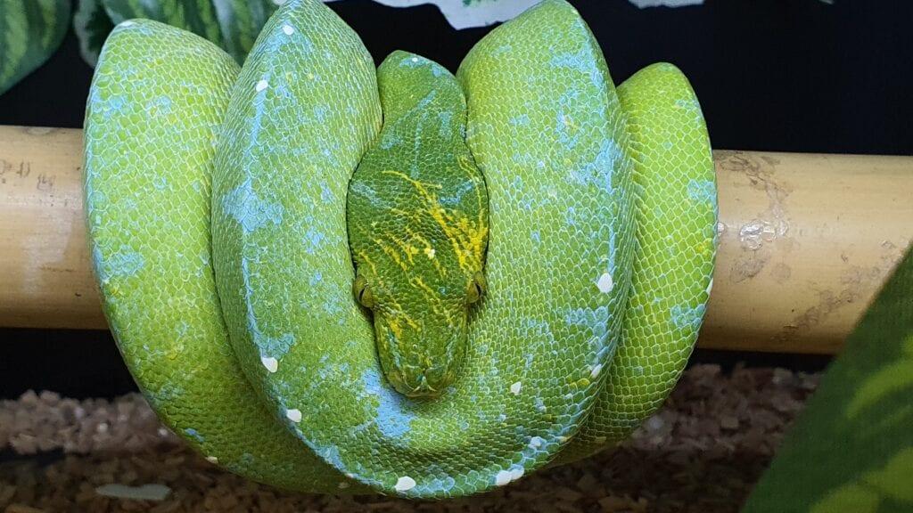 Grønn Trepyton, Sorong, Male